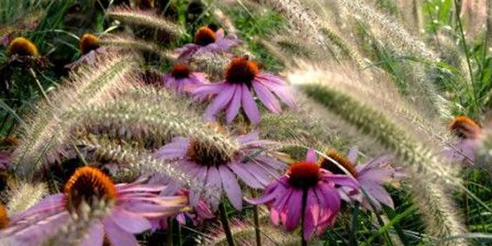 Pennisetum & Echinacea