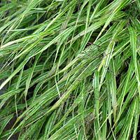 Albo Striata Japanese Forest Grass