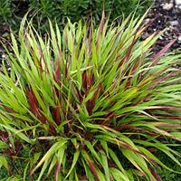 Beni-kaze Japanese Forest Grass