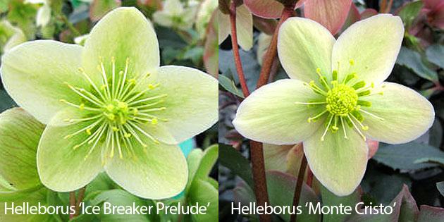 Helleborus Ice Breaker Prelude & Helleborus Monte Cristo