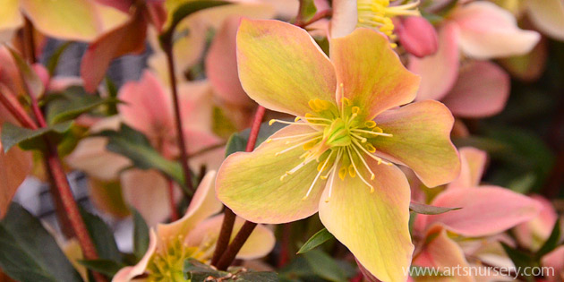 helleborus gold collection mystery