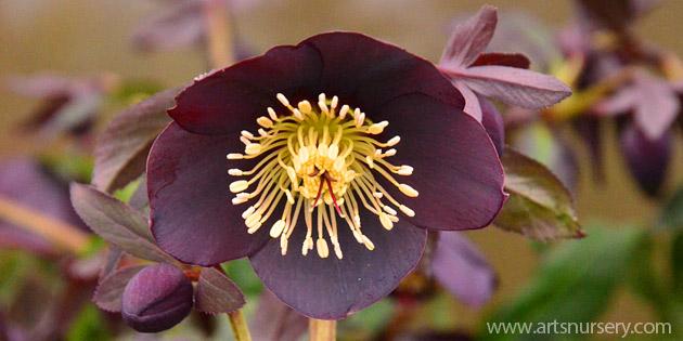 helleborus ruse black
