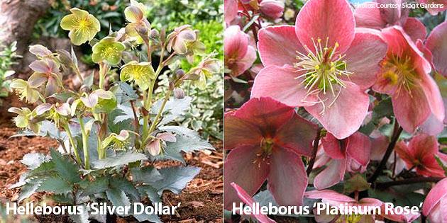 Helleborus Platinum Rose & Helleborus Silver Dollar