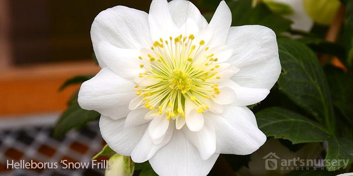 helleborus snow frills