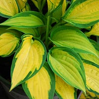 Orange Marmalade Plantain Lily