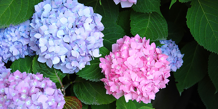 Change Hydrangea Flower Colour