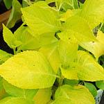 Lemon Daddy Hydrangea