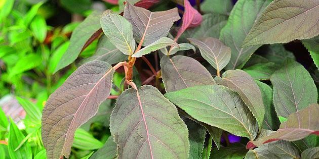 Plum Passion Hydrangea