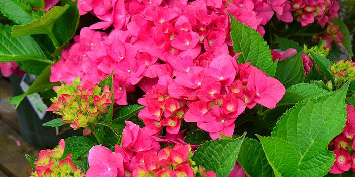 Red n Pretty Hydrangea