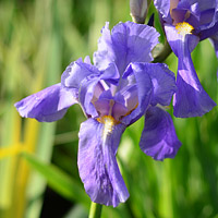 Variegated Dalmation Iris