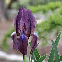 iris sauveolens var rubromarginata