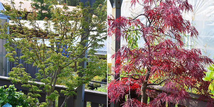 Japanese Maples As a Screen