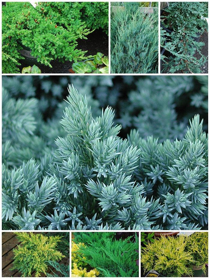 Juniper | Juniperus