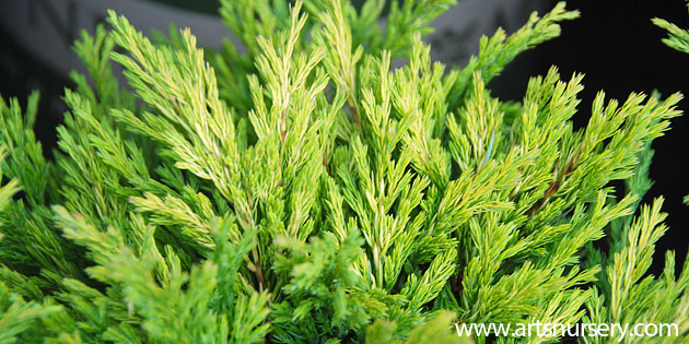 Conifers in Containers | Iseli Nursery