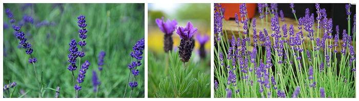 Lavender | Lavandula