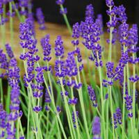 Hidcote Blue Lavender
