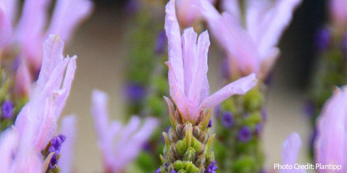 Lavender Lusi Pink