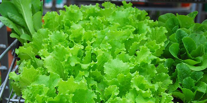Lettuce & Cool Season Crops