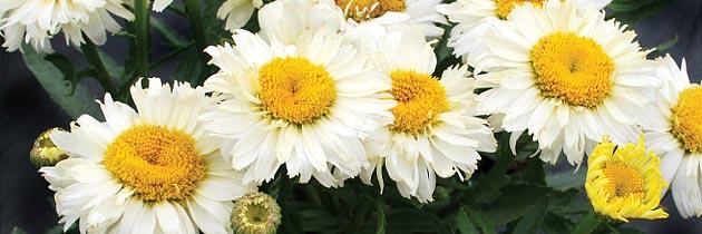 Bridal Bouquet Shasta Daisy