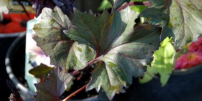 Ligularia Plant