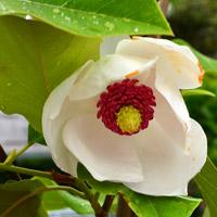 Colossus Magnolia