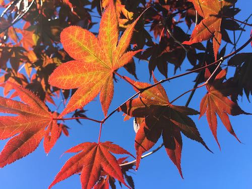 Acer | Maple