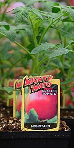 grafted tomato