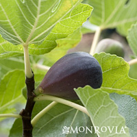 mission fig