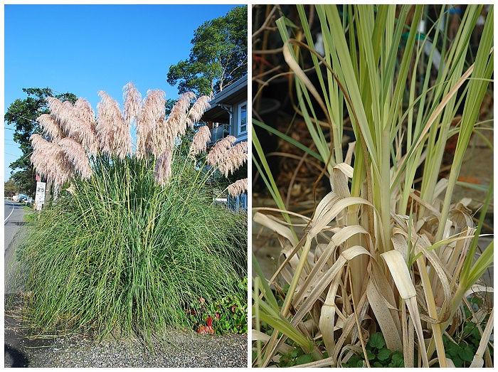 Pampas Grass | Cortaderia