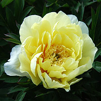 yellow doodle dandy itoh peony