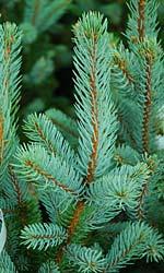 Picea pungens Iseli's Fastigiata