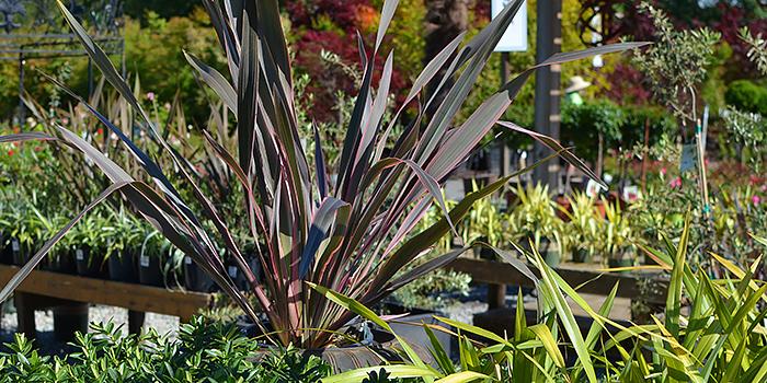 Pink Stripe New Zealand Flax