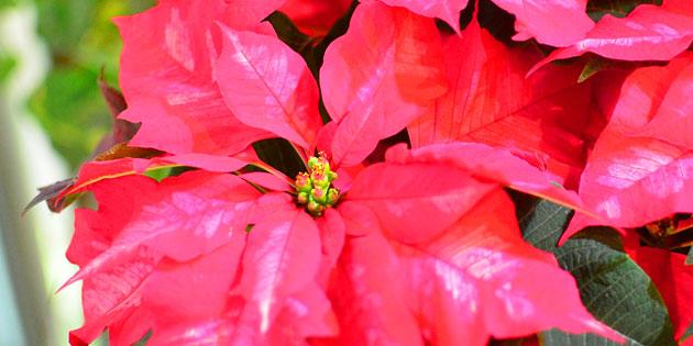 Pink Poinsettia flower