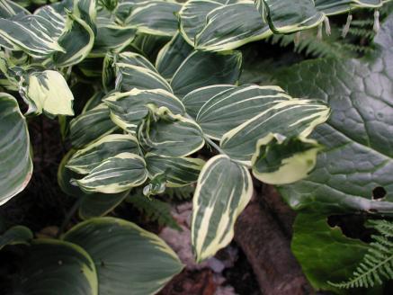 polygonatum grace barker