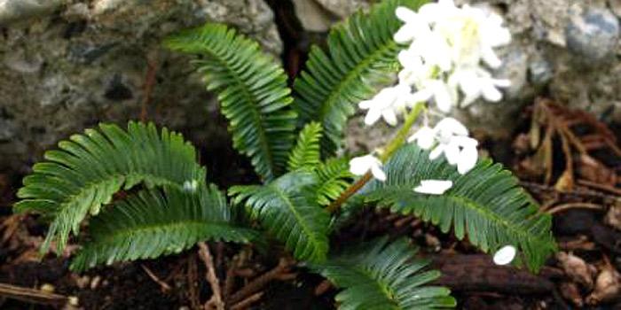 pteridophyllum racemosum - poppy fern