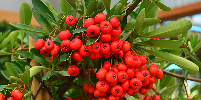 Victory Pyracantha / Victory Firethorn