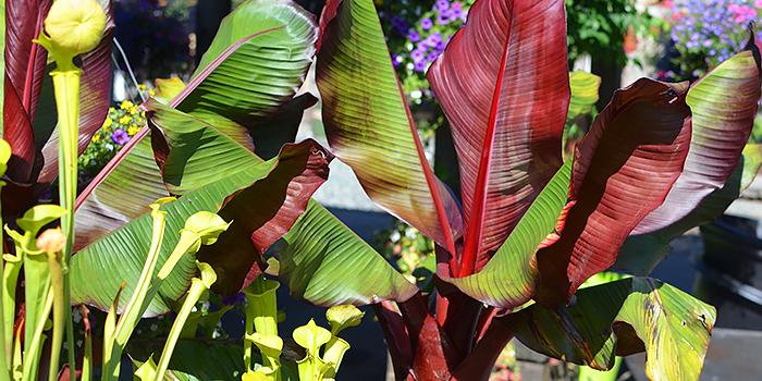 Red Leaf Banana