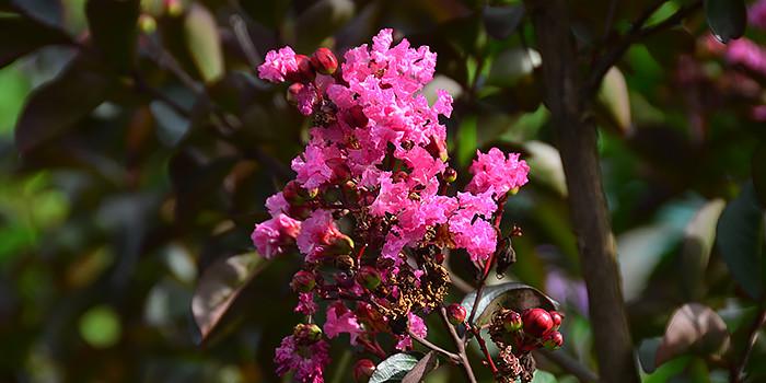 rhapsody in pink crape myrtle