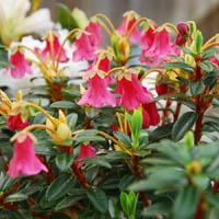 rhododendron campylogynum