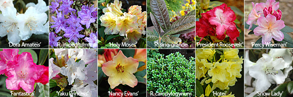 Rhododendron Gallery