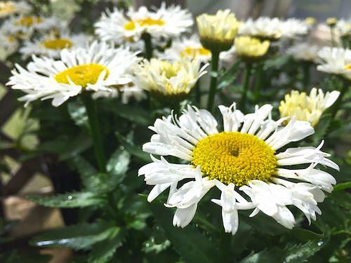 Leucanthemum | Shasta Daisy