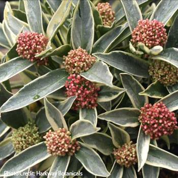 skimmia flower buds