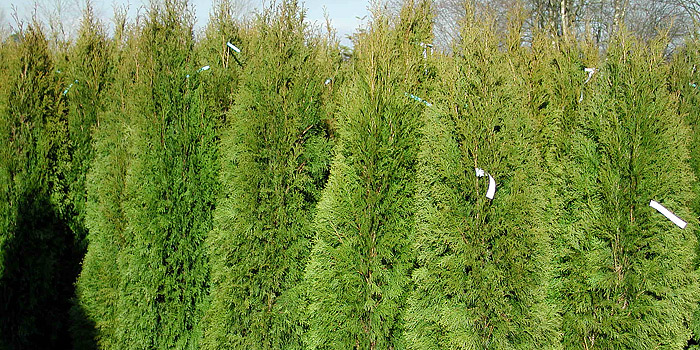 Emerald Green / Smargd Cedars
