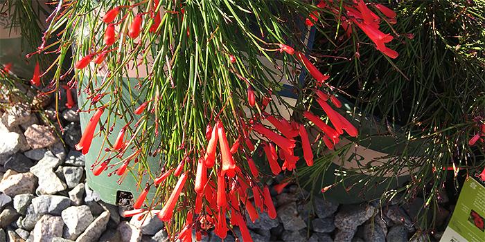 St Elmos Fire Firecracker Plant