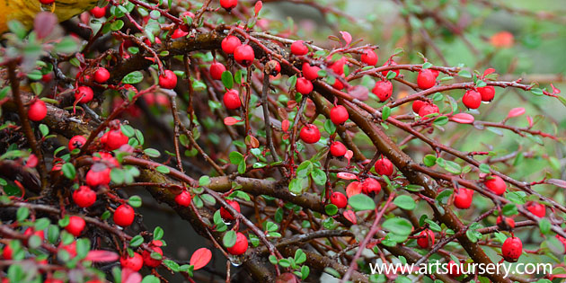 Streibs Finding Cotoneaster