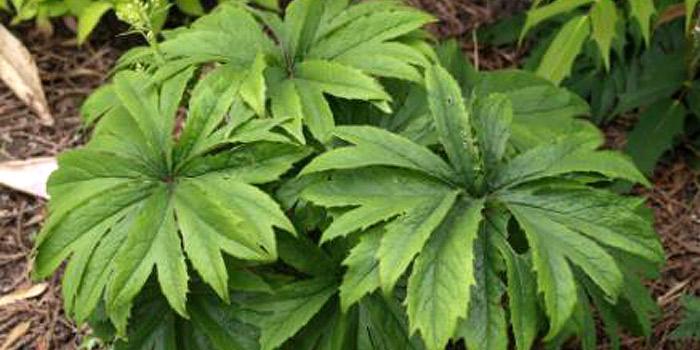 syneilesis palmata - Umbrella Plant