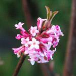 viburnum pink dawn