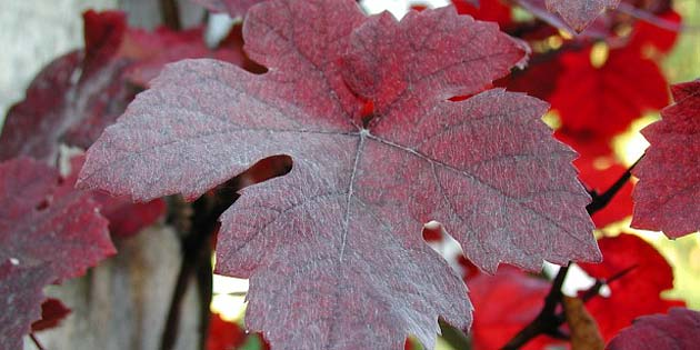 Ornamental Grape