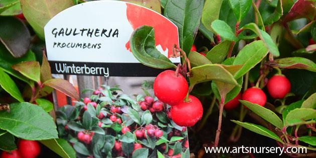Gaultheria procumbens - Winter Green