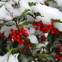 Red Holly Berries Under Snow